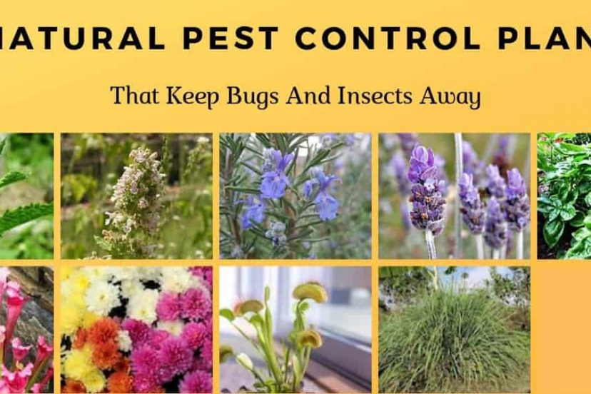9 Natural Pest Control Plants That Keep Bugs And Insects Away