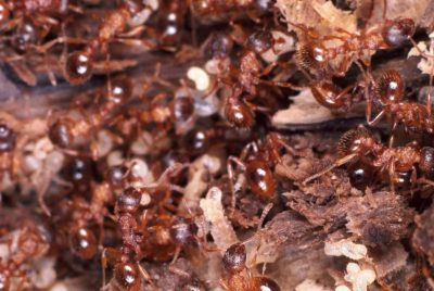 Kill Fire Ants Naturally