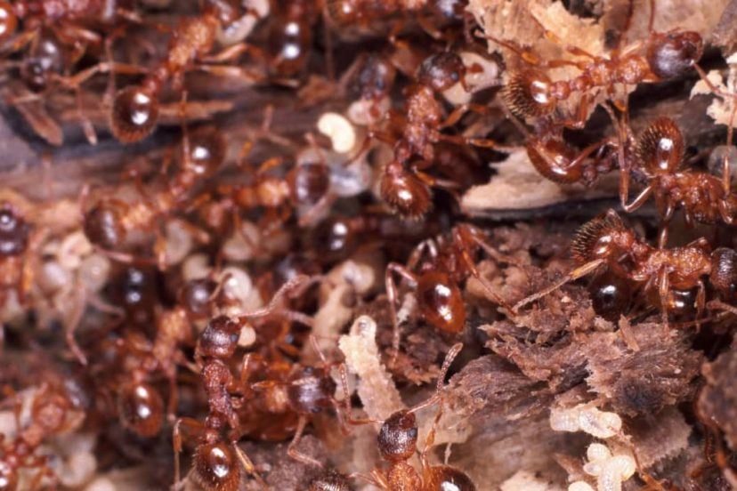 3 Best Ways To Kill Fire Ants Naturally Without Pesticides