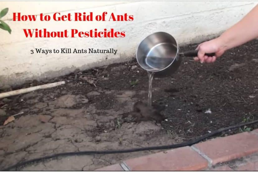 How To Get Rid Of Ants Without Pesticides (How To Kill Ants)