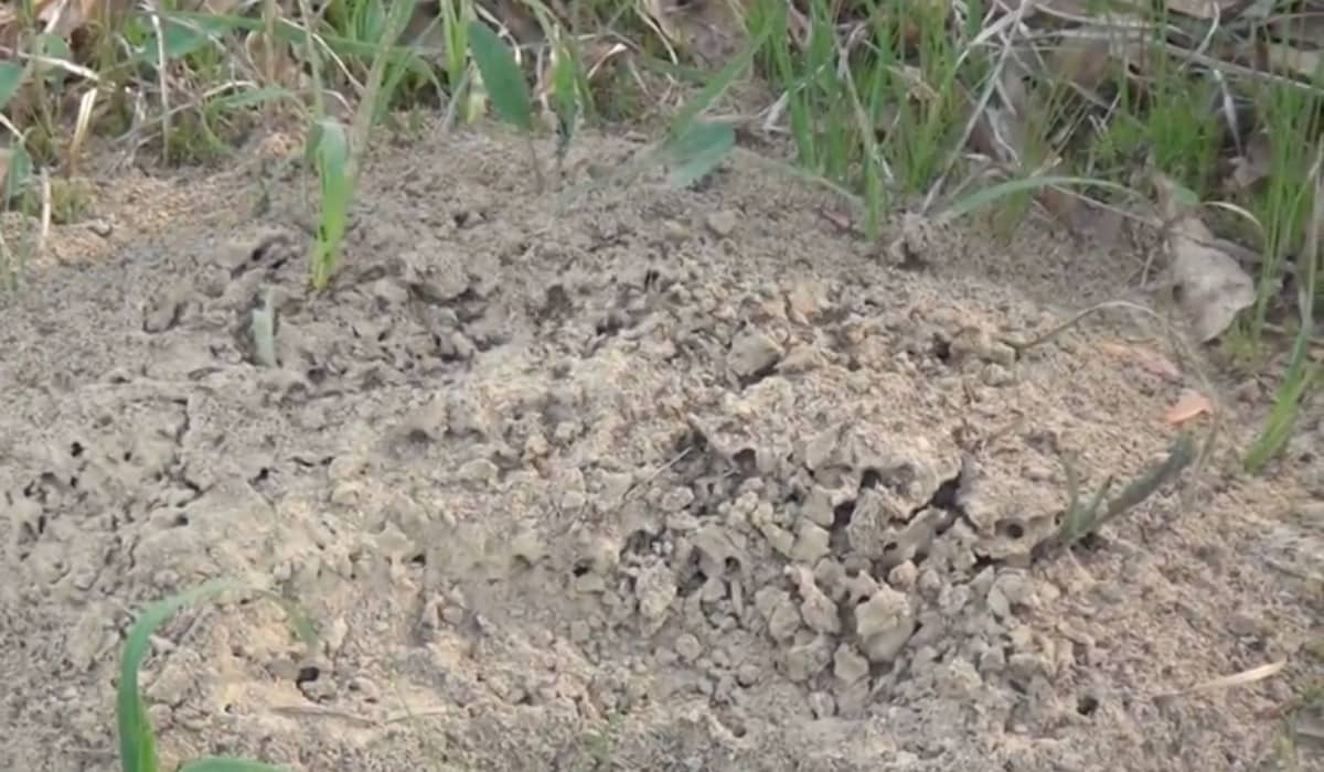 How to Kill Fire Ants Naturally without Pesticides Using Diatomaceous Earth