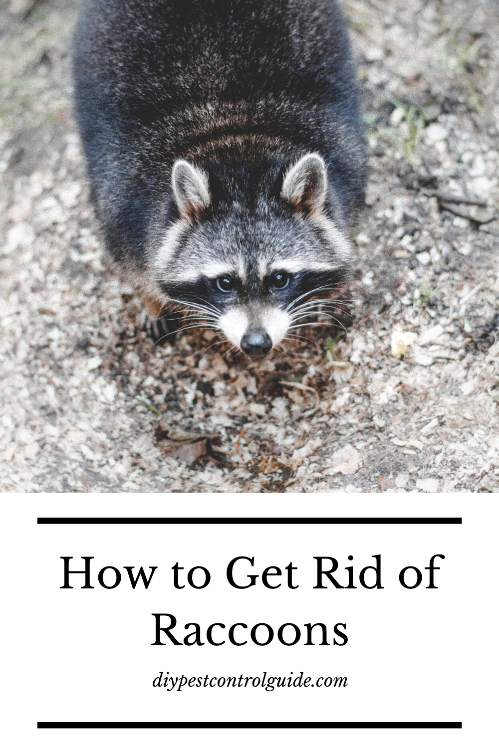 how get rid of raccoons