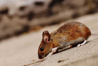Natural Mice Repellents