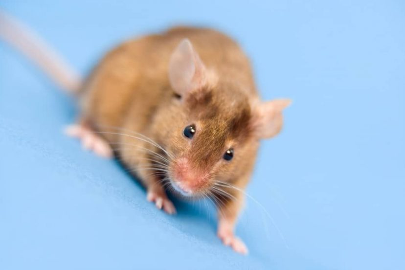 What Is A Humane Mouse Trap? (Do They Work?)