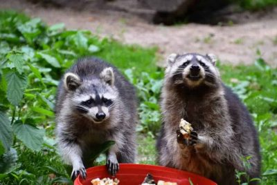 Raccoons Eating Baits