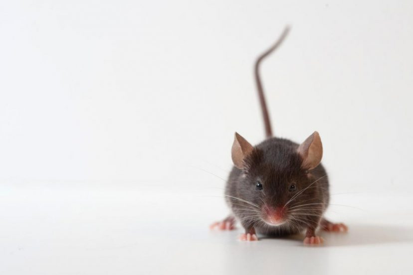 How To Get Rid Of Mice And Rats: A DIY Guide To Rodent Control
