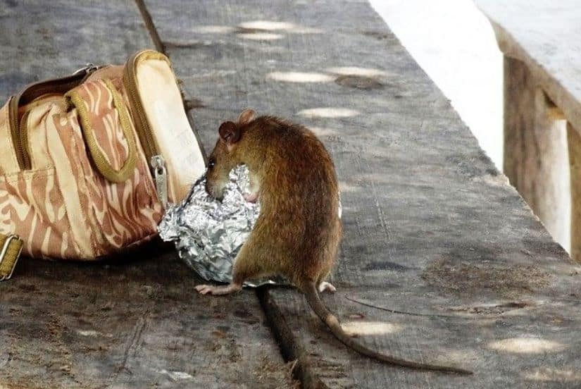 Rat Removal – What To Do When You've Got Rats In Your Home