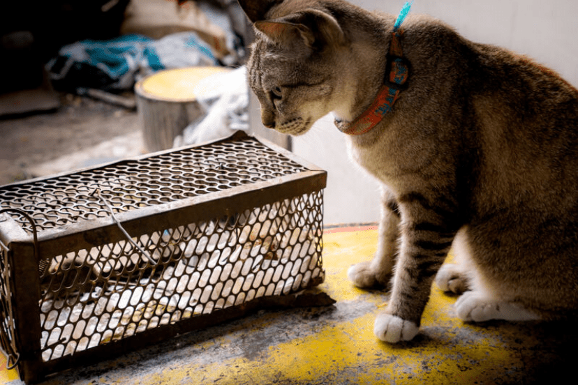 Cat And Traps For Mice Infestation