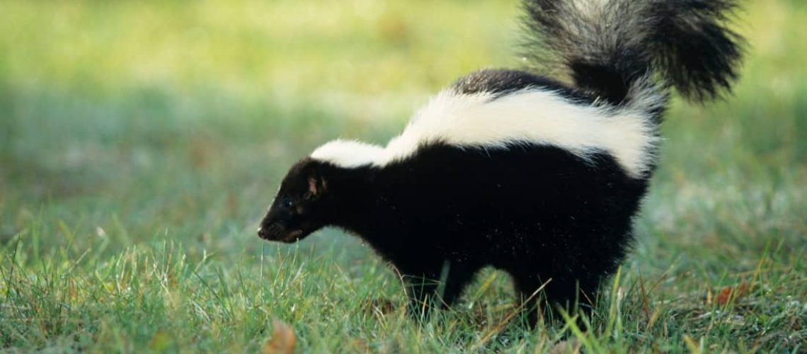 How to Get Rid Of Skunk Smell From Your Dog, House & Clothes